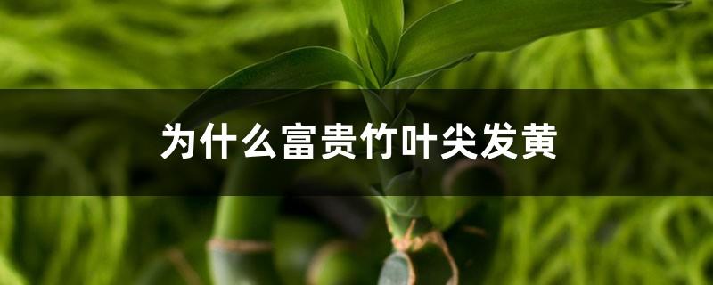 为什么富贵竹叶尖发黄