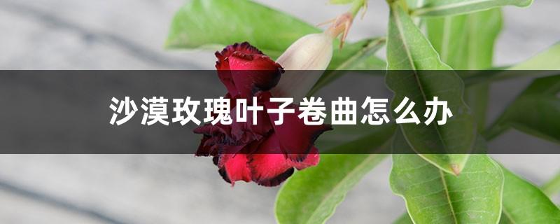 沙漠玫瑰叶子卷曲怎么办