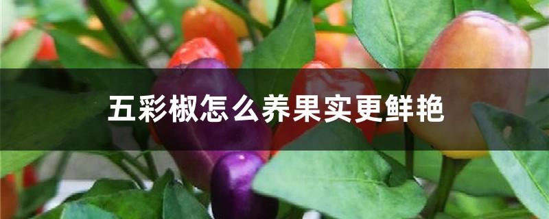 五彩椒怎么养果实更鲜艳