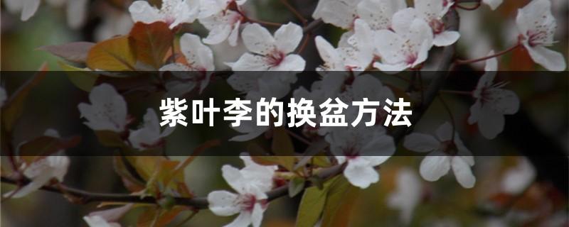 紫叶李的换盆方法