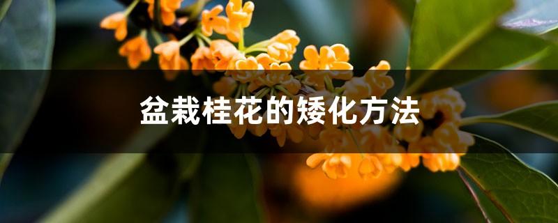 盆栽桂花的矮化方法