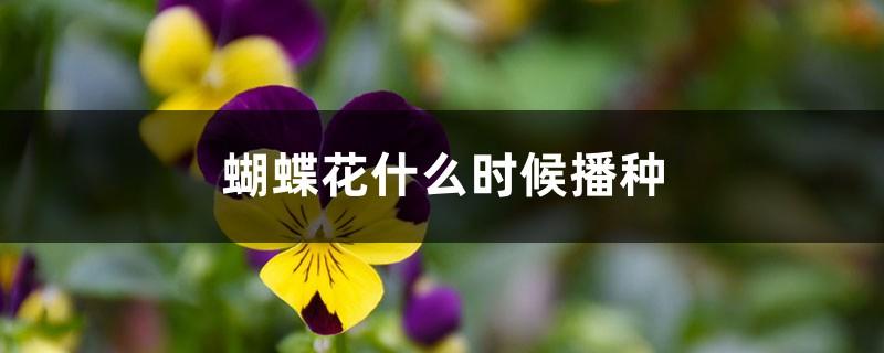 蝴蝶花什么时候播种