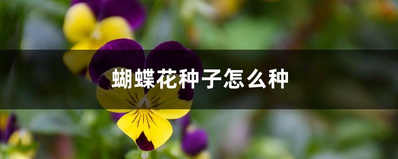蝴蝶花种子怎么种