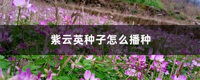 紫云英种子怎么播种