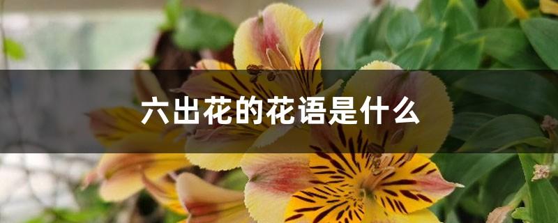 六出花的花语是什么