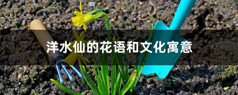 洋水仙的花语和文化寓意
