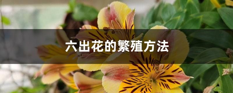 六出花的繁殖方法