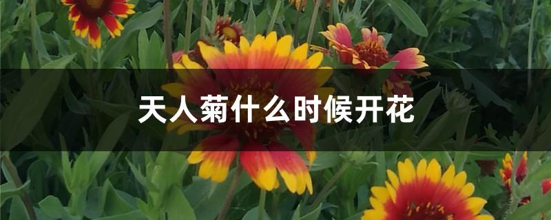 天人菊什么时候开花