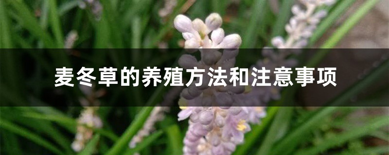 麦冬草的养殖方法和注意事项