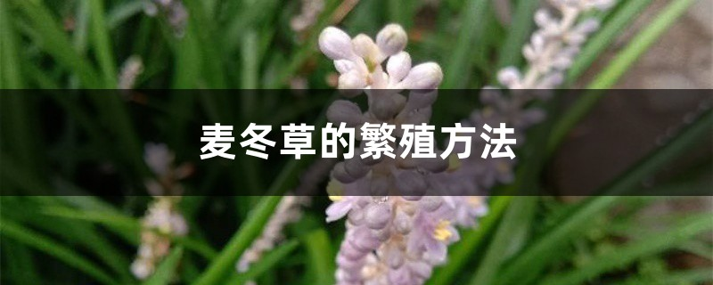 麦冬草的繁殖方法