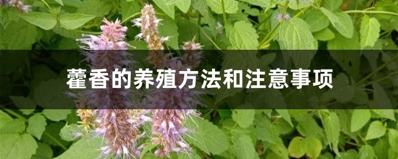 藿香的养殖方法和注意事项