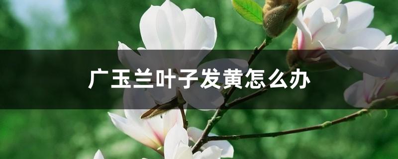 广玉兰叶子发黄怎么办
