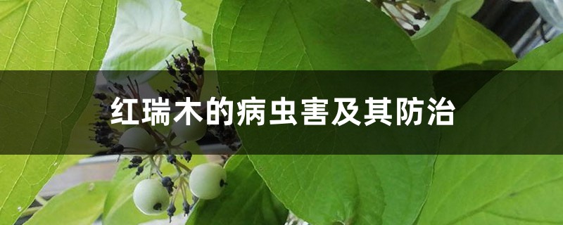 红瑞木的病虫害及其防治