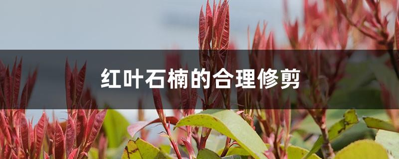红叶石楠的合理修剪