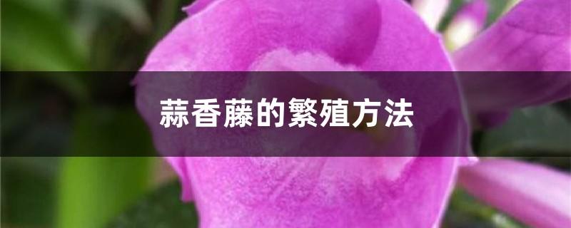 蒜香藤的繁殖方法