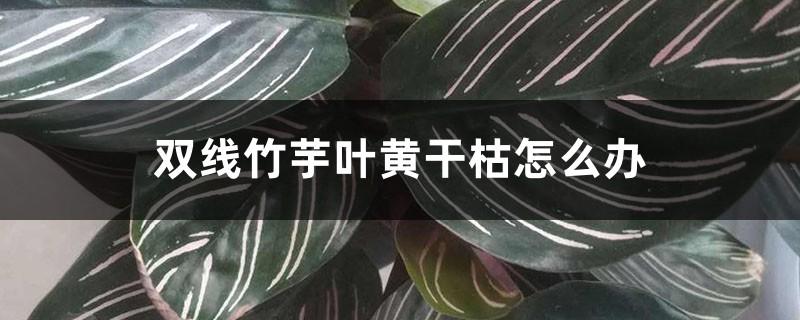 双线竹芋叶黄干枯怎么办