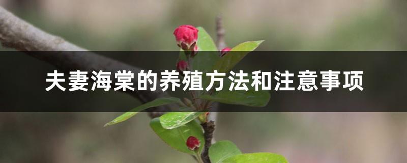 夫妻海棠的养殖方法和注意事项