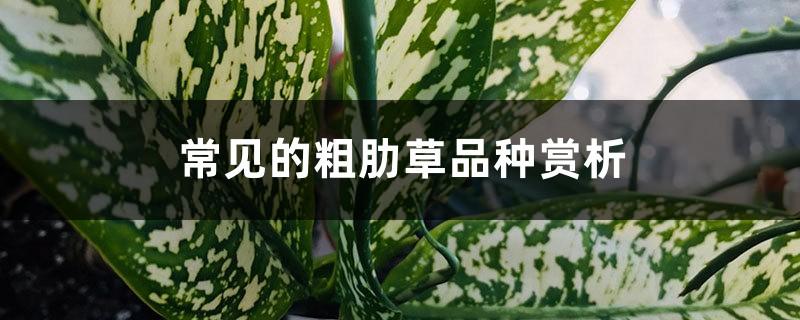 常见的粗肋草品种赏析