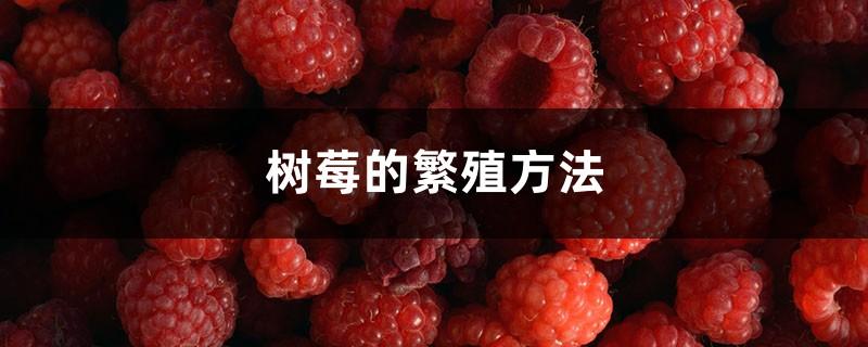 树莓的繁殖方法