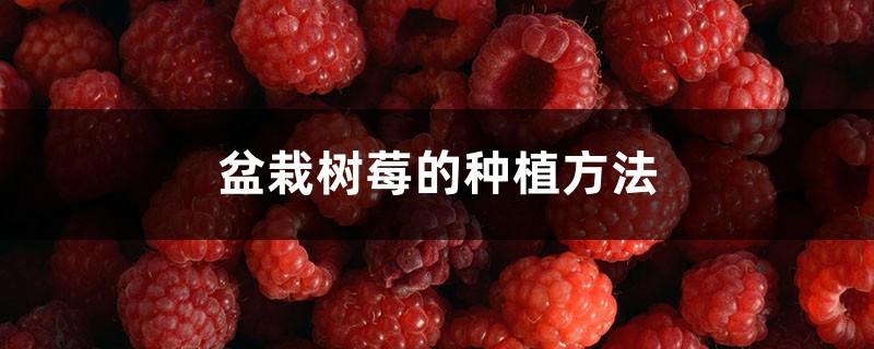 盆栽树莓的种植方法