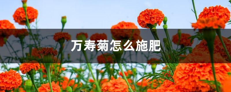 万寿菊怎么施肥