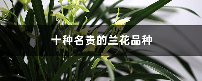 十种名贵的兰花品种