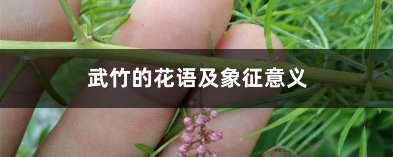武竹的花语及象征意义