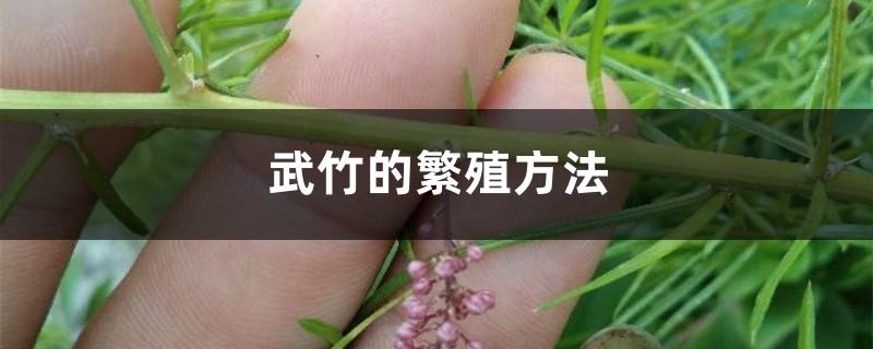 武竹的繁殖方法