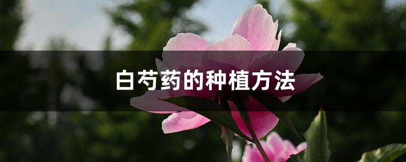 白芍药的种植方法