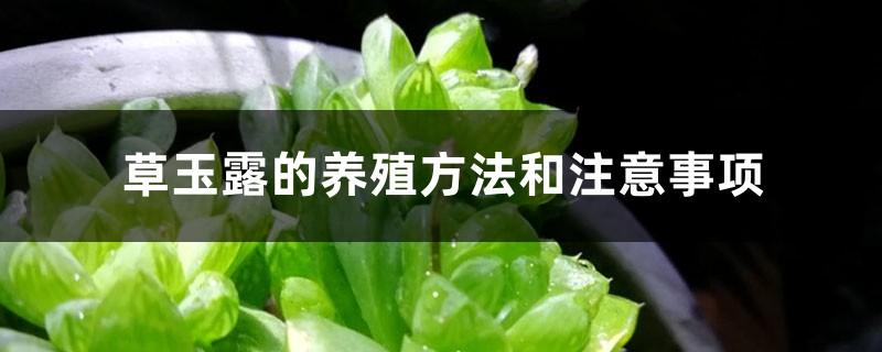 草玉露的养殖方法和注意事项