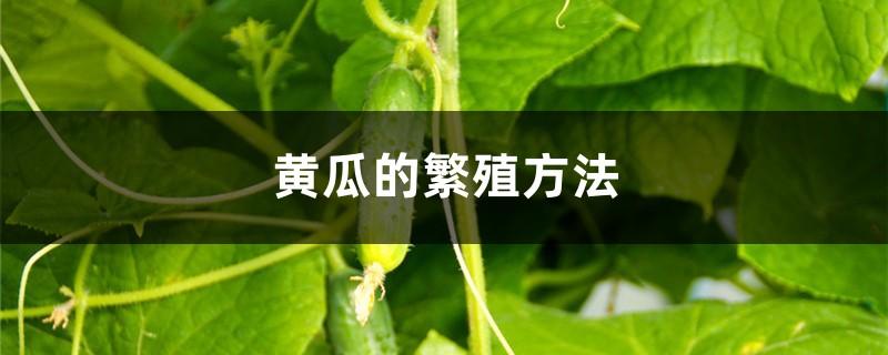黄瓜的繁殖方法