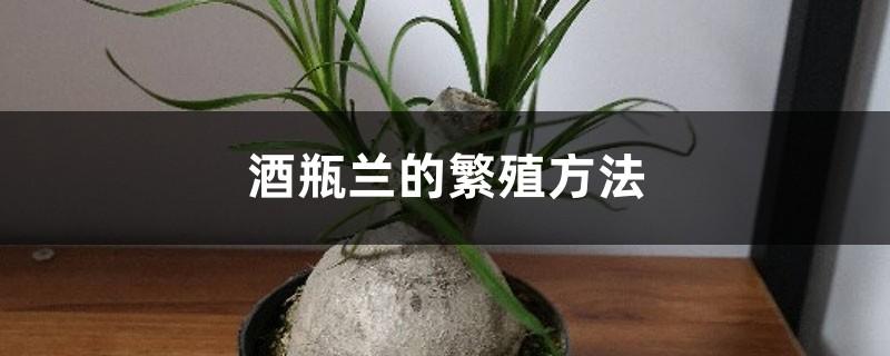 酒瓶兰的繁殖方法