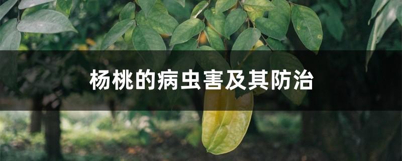 杨桃的病虫害及其防治