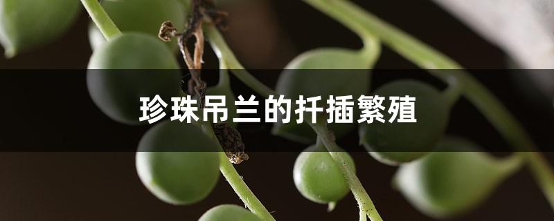 珍珠吊兰的扦插繁殖