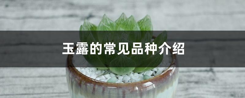 玉露的常见品种介绍