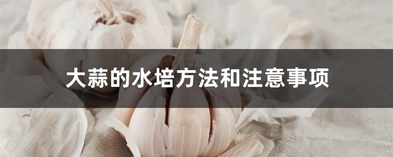 大蒜的水培方法和注意事项