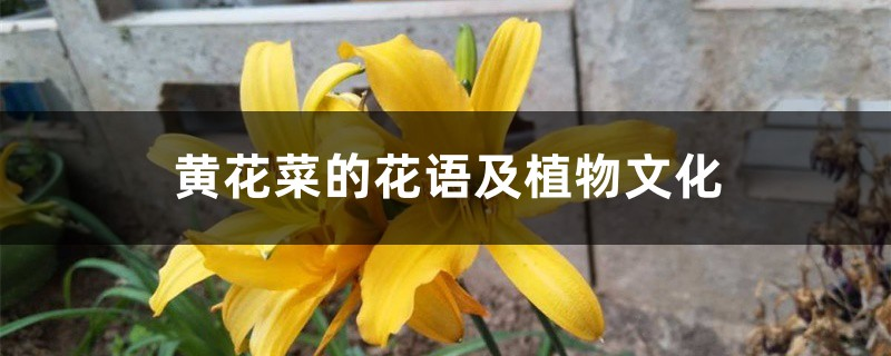 黄花菜的花语及植物文化