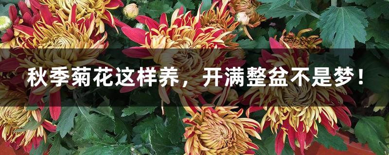 秋季菊花这样养,开满整盆不是梦!