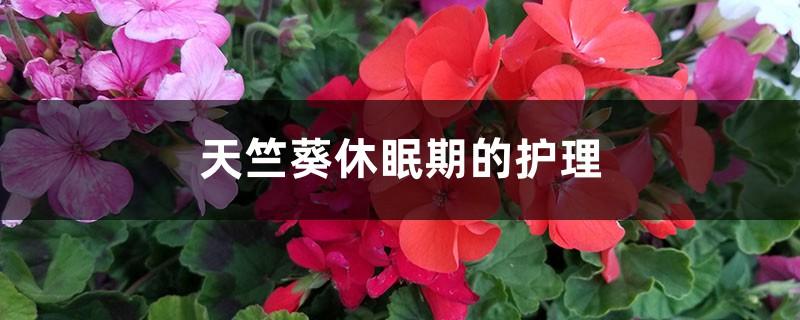 天竺葵休眠期的护理