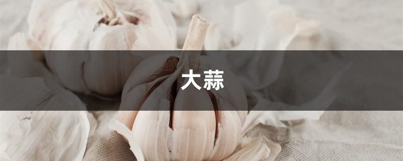 家里养花用上点大蒜,防腐促芽杀虫又保花!