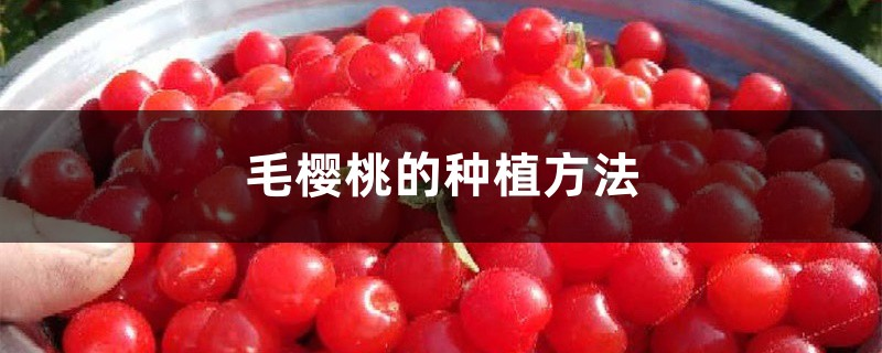 毛樱桃的种植方法
