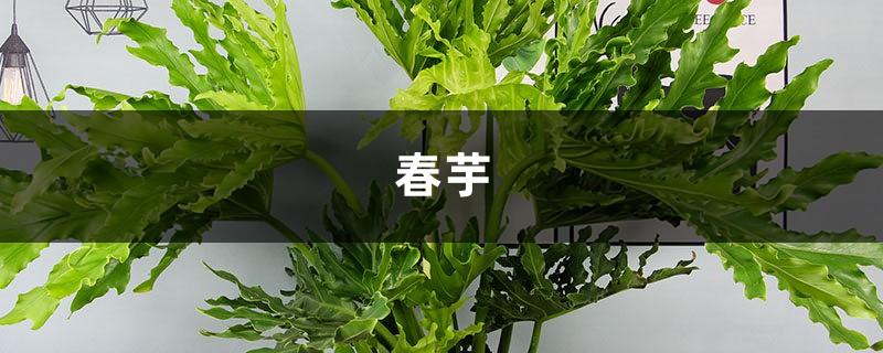 春芋的繁殖及病虫害防治大全,1盆变10盆!