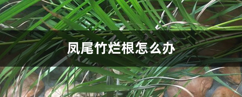 凤尾竹烂根怎么办