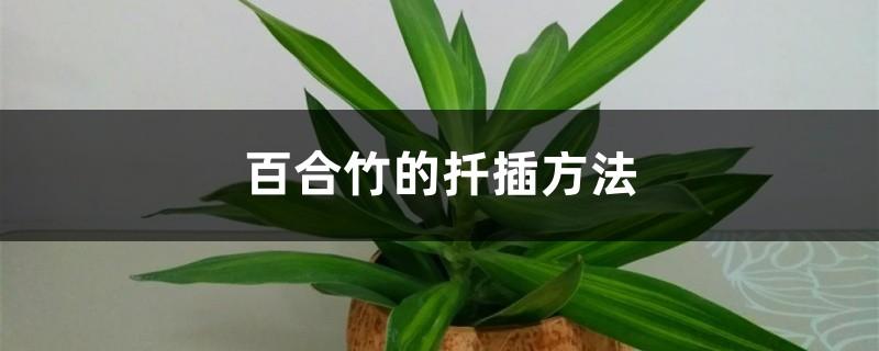百合竹的扦插方法
