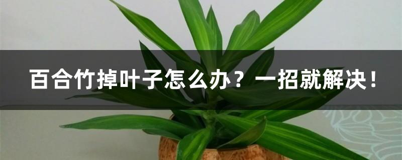百合竹掉叶子怎么办?一招就解决!