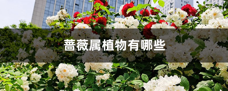蔷薇属植物有哪些