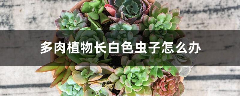 多肉植物长白色虫子怎么办