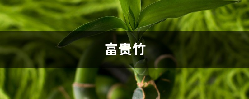 原来富贵竹的摆放,也是有讲究的,这样摆才能富贵平安!