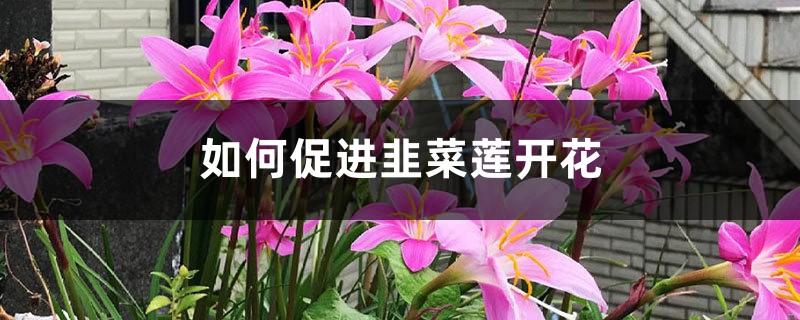 如何促进韭菜莲开花?