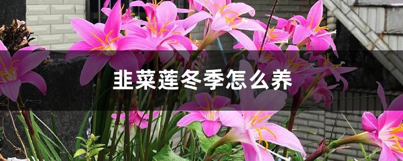 韭菜莲冬季这样养,轻轻松松过冬天!